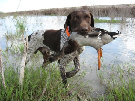 german shorthaired pointer German Wirehaired Pointer Training Videos